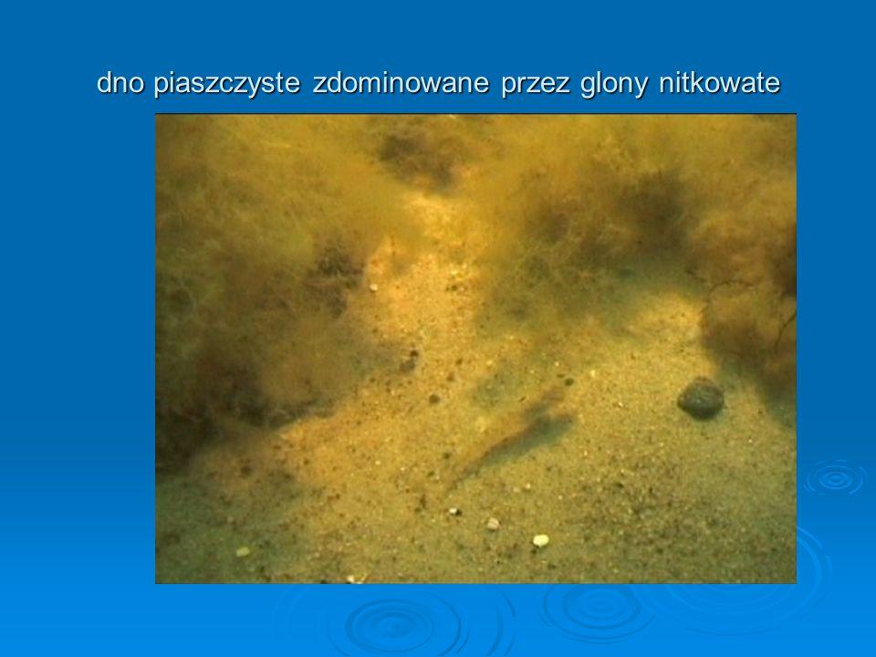 dno piaszczyste zdominowane przez glony nitkowate