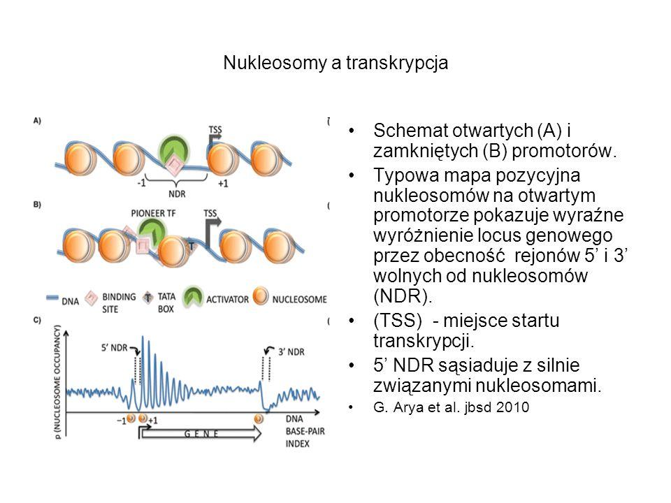 Nukleosomy a transkrypcja Schemat otwartych (A) i zamkniętych (B) promotorów. Typowa mapa pozycyjna nukleosomów na otwartym promotorze pokazuje wyraźn