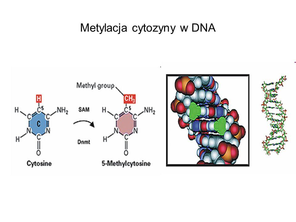 Metylacja cytozyny w DNA