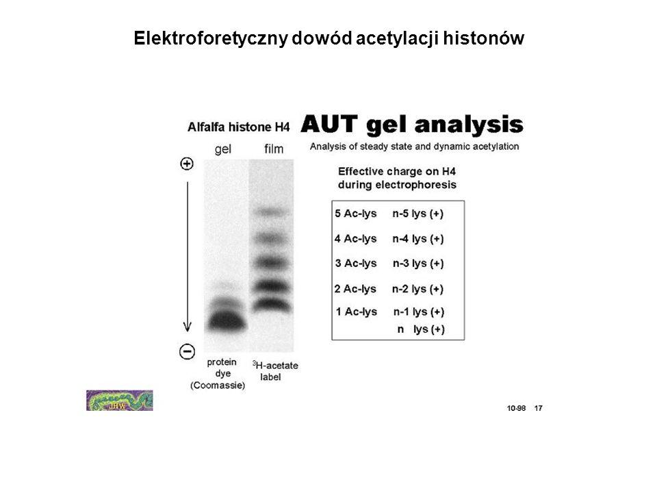 Elektroforetyczny dowód acetylacji histonów
