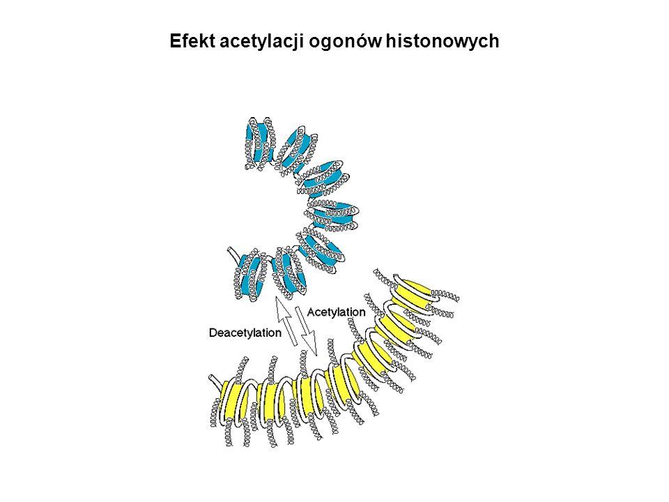 Efekt acetylacji ogonów histonowych