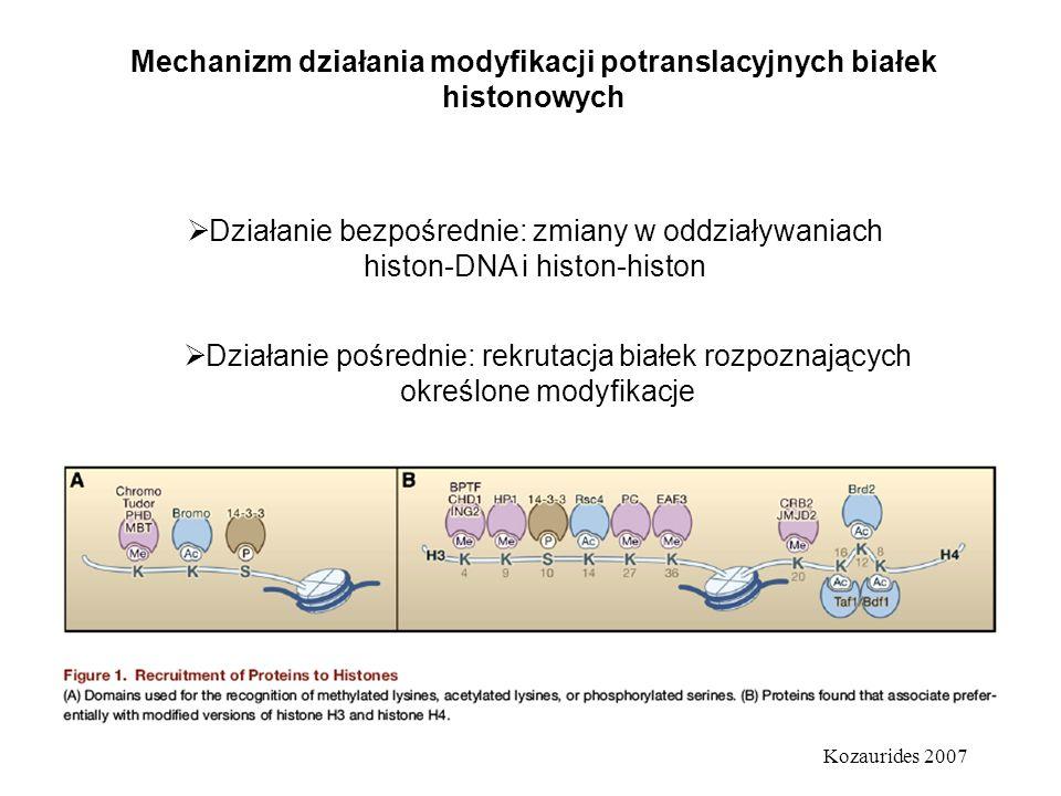 Mechanizm działania modyfikacji potranslacyjnych białek histonowych Działanie pośrednie: rekrutacja białek rozpoznających określone modyfikacje Kozaur