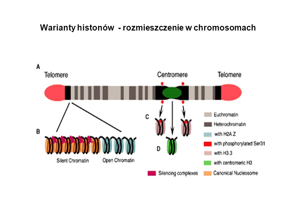 Warianty histonów - rozmieszczenie w chromosomach