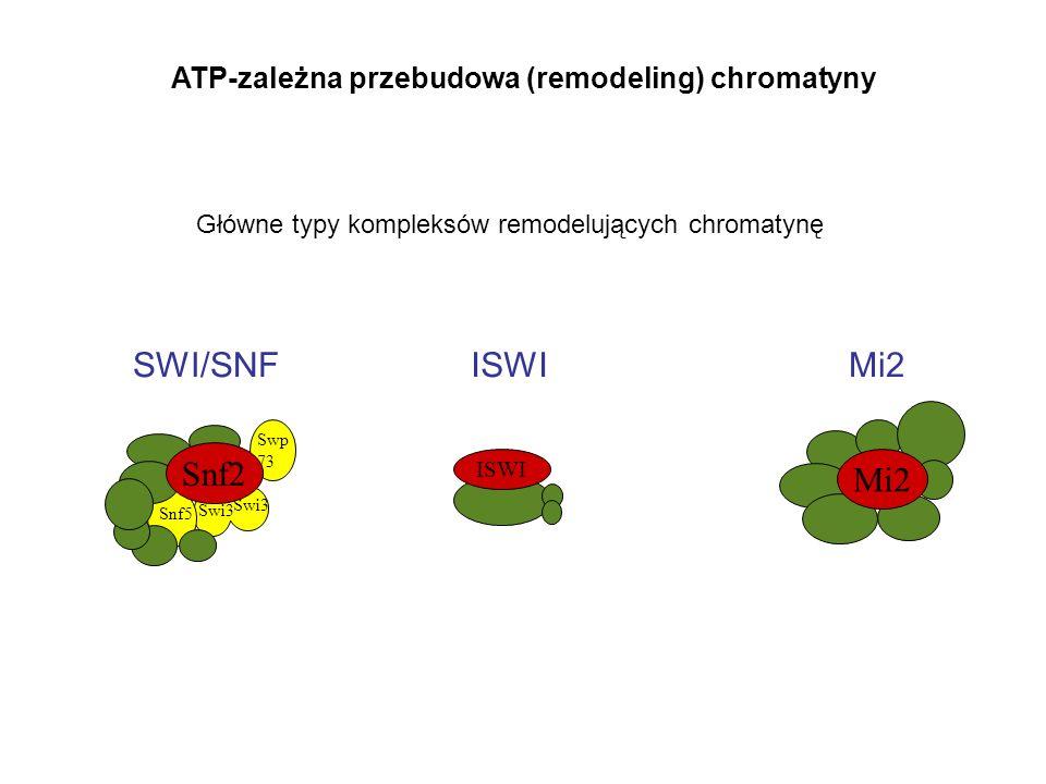 Swp 73 Swi3 Snf5 Snf2 ISWI SWI/SNFISWI Mi2 ATP-zależna przebudowa (remodeling) chromatyny Główne typy kompleksów remodelujących chromatynę