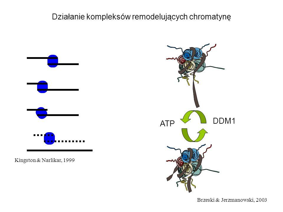 Kingston & Narlikar, 1999 Działanie kompleksów remodelujących chromatynę DDM1 ATP Brzeski & Jerzmanowski, 2003