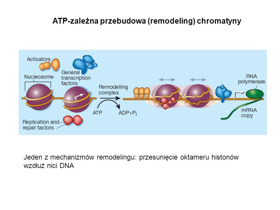 Jeden z mechanizmów remodelingu: przesunięcie oktameru histonów wzdłuż nici DNA ATP-zależna przebudowa (remodeling) chromatyny