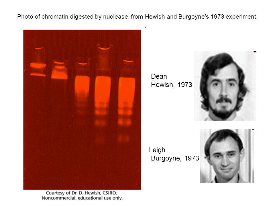 Trawienie chromatyny DNAzą -Drabinka nukleosomowa