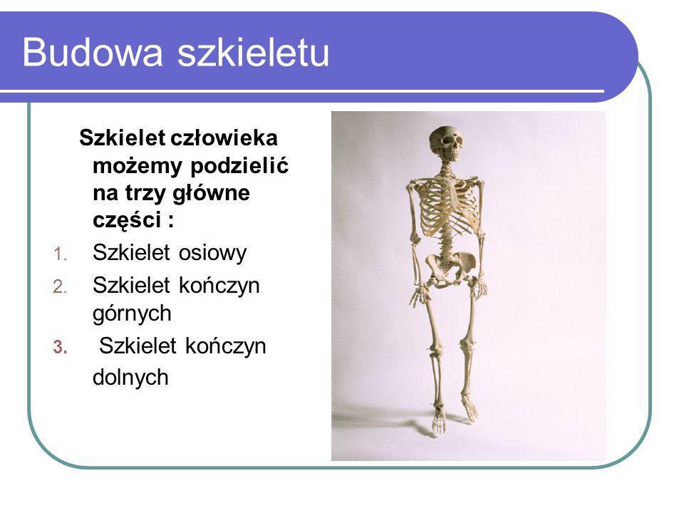Budowa szkieletu Szkielet człowieka możemy podzielić na trzy główne części : 1. Szkielet osiowy 2. Szkielet kończyn górnych 3. Szkielet kończyn dolnyc