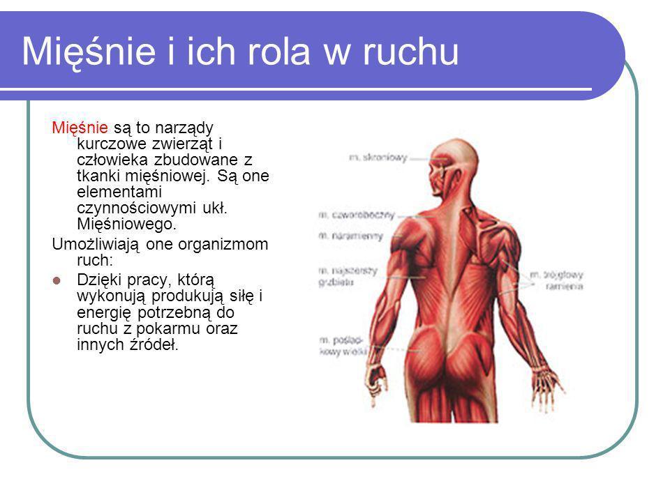 Mięśnie i ich rola w ruchu Mięśnie są to narządy kurczowe zwierząt i człowieka zbudowane z tkanki mięśniowej. Są one elementami czynnościowymi ukł. Mi