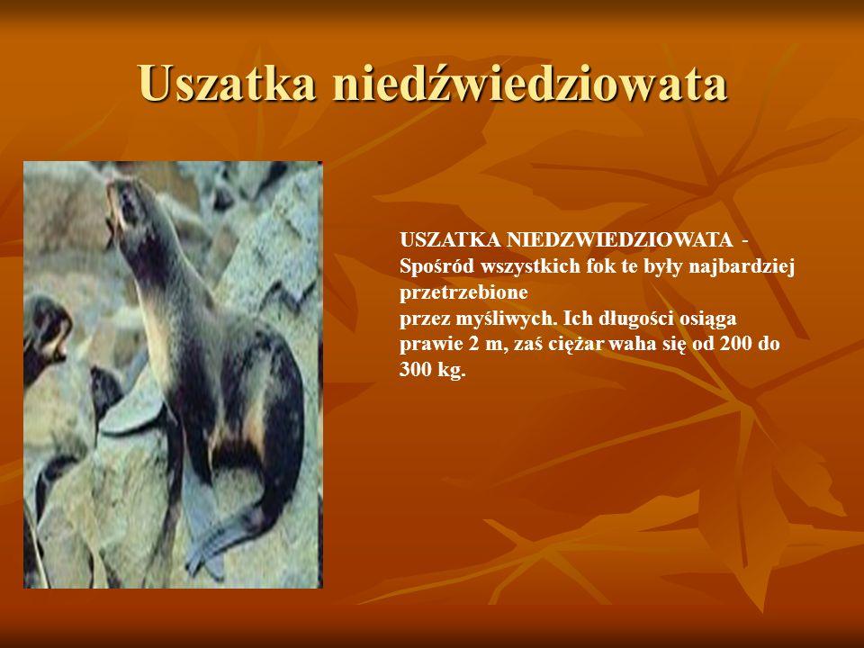 Uszatka niedźwiedziowata USZATKA NIEDZWIEDZIOWATA - Spośród wszystkich fok te były najbardziej przetrzebione przez myśliwych. Ich długości osiąga praw