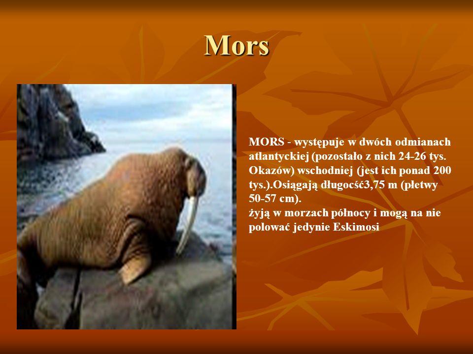 Mors MORS - występuje w dwóch odmianach atlantyckiej (pozostało z nich 24-26 tys. Okazów) wschodniej (jest ich ponad 200 tys.).Osiągają długocść3,75 m
