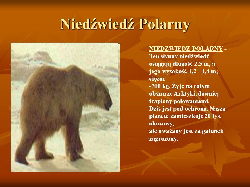 Niedźwiedź Polarny NIEDZWIEDZ POLARNYNIEDZWIEDZ POLARNY - Ten słynny niedźwiedź osiągają długość 2,5 m, a jego wysokość 1,2 - 1,4 m; ciężar -700 kg. Ż