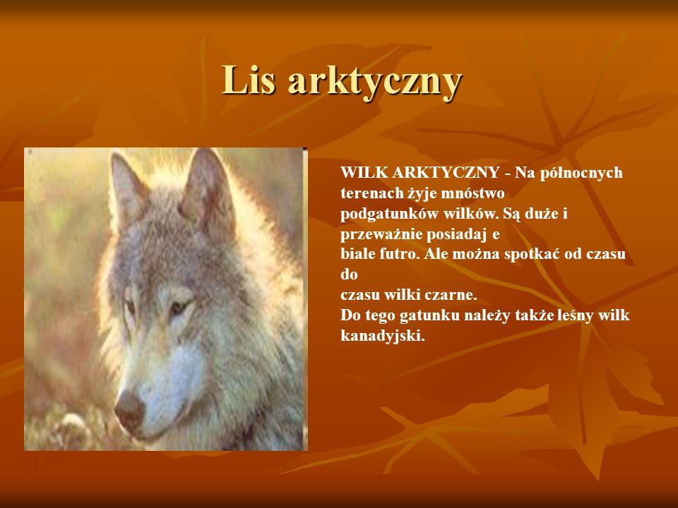 Lis arktyczny WILK ARKTYCZNY - Na północnych terenach żyje mnóstwo podgatunków wilków. Są duże i przeważnie posiadaj e biale futro. Ale można spotkać