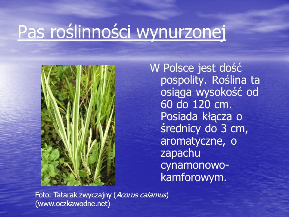 Pas roślinności wynurzonej W Polsce jest dość pospolity. Roślina ta osiąga wysokość od 60 do 120 cm. Posiada kłącza o średnicy do 3 cm, aromatyczne, o