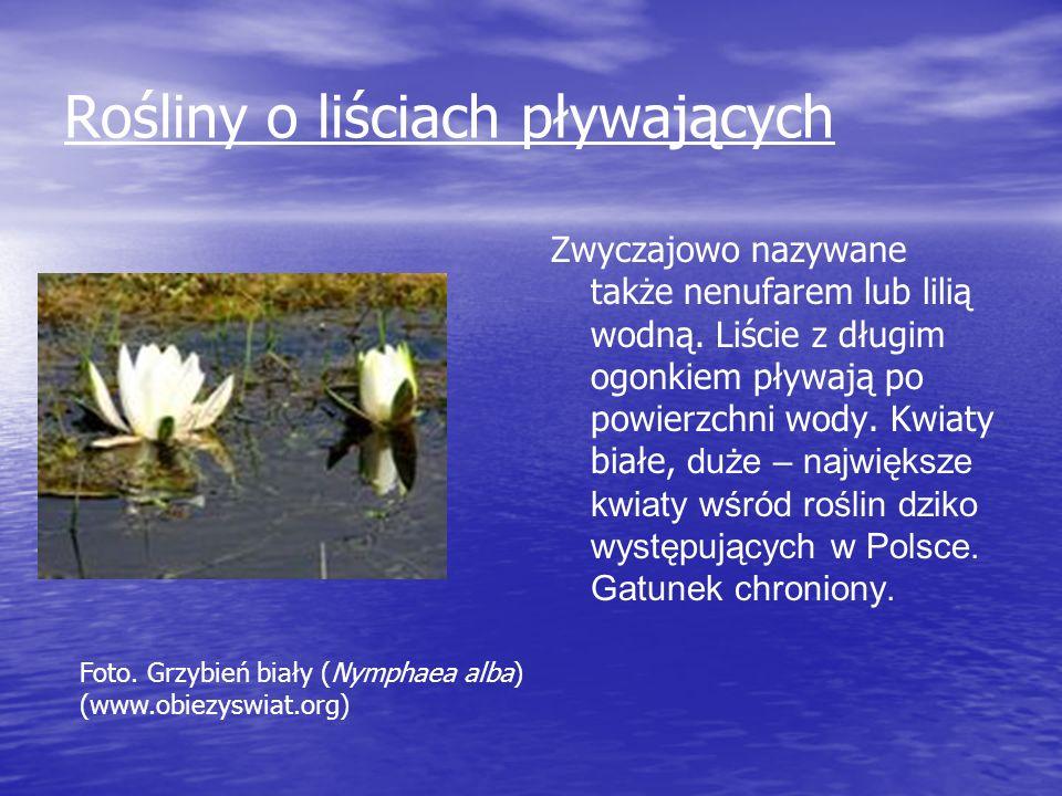 Rośliny o liściach pływających Zwyczajowo nazywane także nenufarem lub lilią wodną. Liście z długim ogonkiem pływają po powierzchni wody. Kwiaty białe