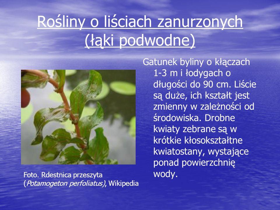Rośliny o liściach zanurzonych (łąki podwodne) Gatunek byliny o kłączach 1-3 m i łodygach o długości do 90 cm. Liście są duże, ich kształt jest zmienn