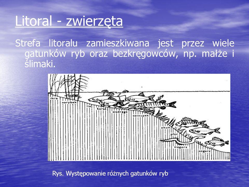 Litoral - zwierzęta Strefa litoralu zamieszkiwana jest przez wiele gatunków ryb oraz bezkręgowców, np. małże i ślimaki. Rys. Występowanie różnych gatu