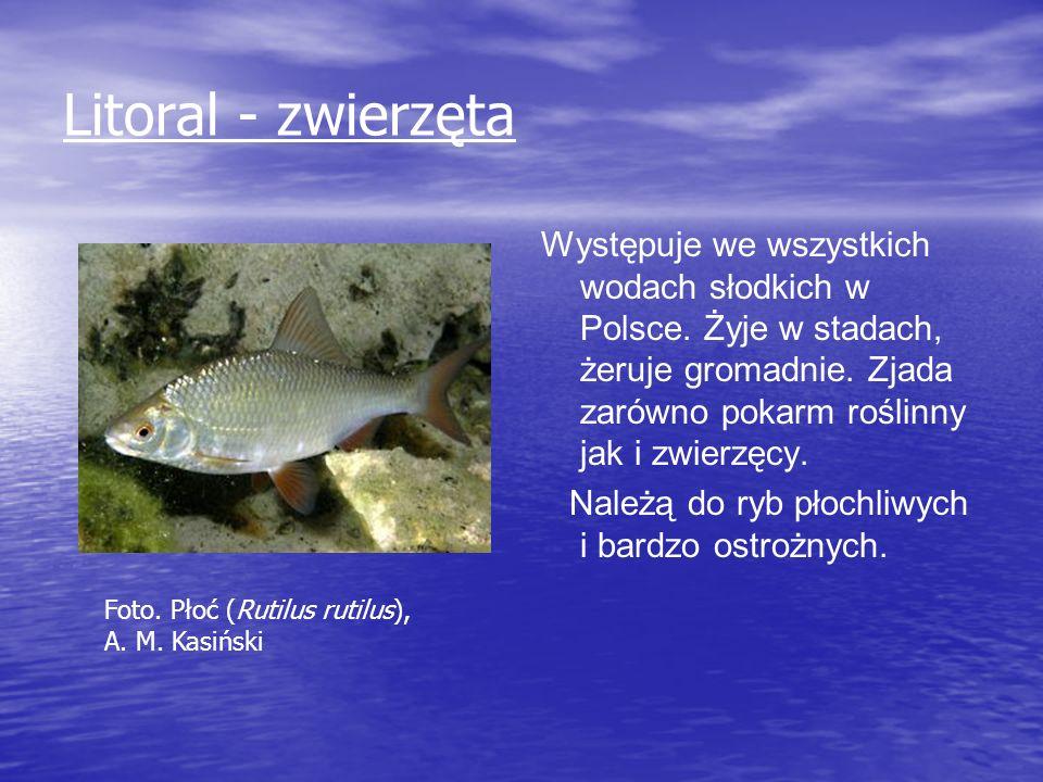 Litoral - zwierzęta Występuje we wszystkich wodach słodkich w Polsce. Żyje w stadach, żeruje gromadnie. Zjada zarówno pokarm roślinny jak i zwierzęcy.