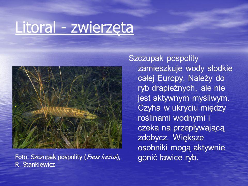 Litoral - zwierzęta Szczupak pospolity zamieszkuje wody słodkie całej Europy. Należy do ryb drapieżnych, ale nie jest aktywnym myśliwym. Czyha w ukryc