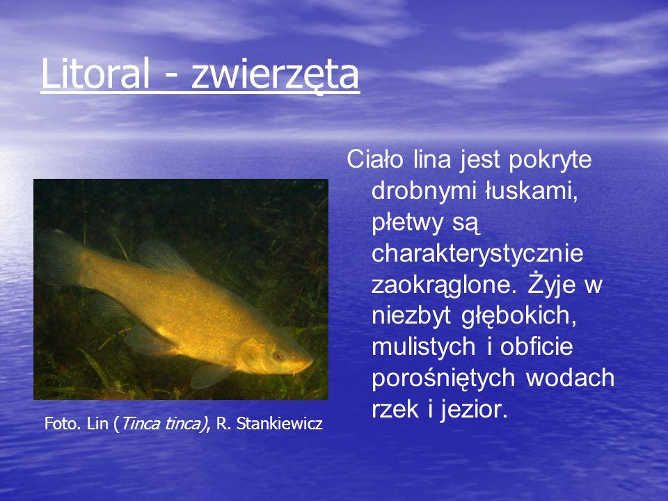 Litoral - zwierzęta Ciało lina jest pokryte drobnymi łuskami, płetwy są charakterystycznie zaokrąglone. Żyje w niezbyt głębokich, mulistych i obficie