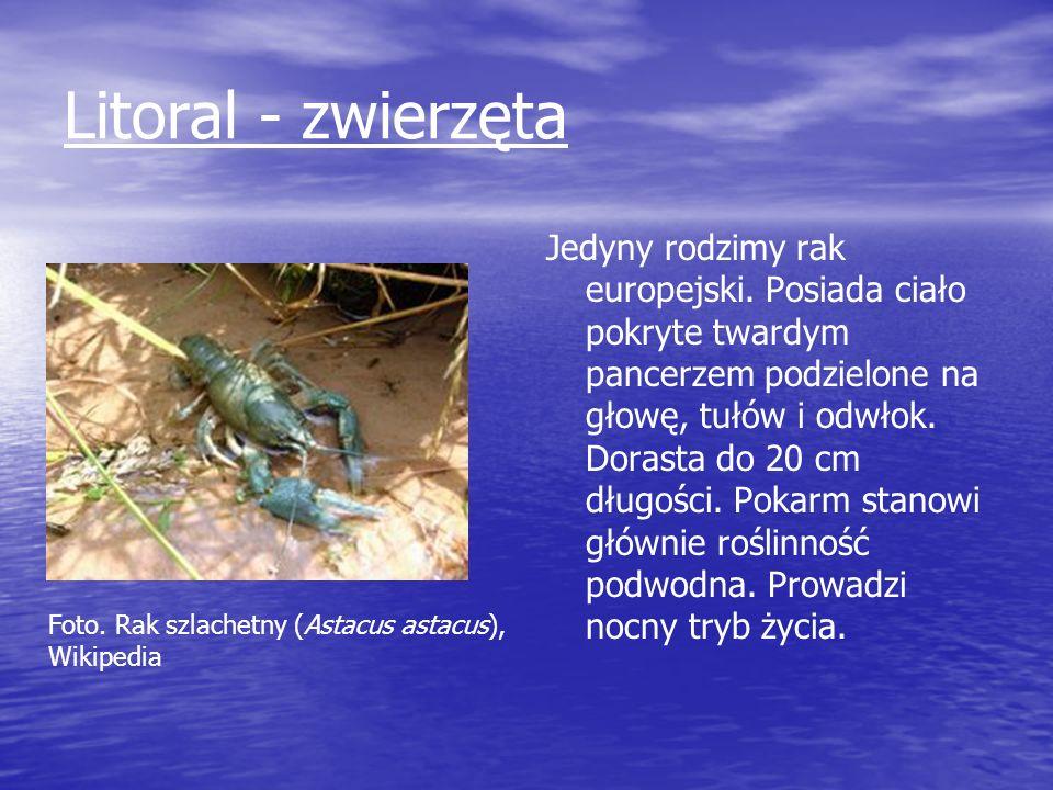 Litoral - zwierzęta Jedyny rodzimy rak europejski. Posiada ciało pokryte twardym pancerzem podzielone na głowę, tułów i odwłok. Dorasta do 20 cm długo