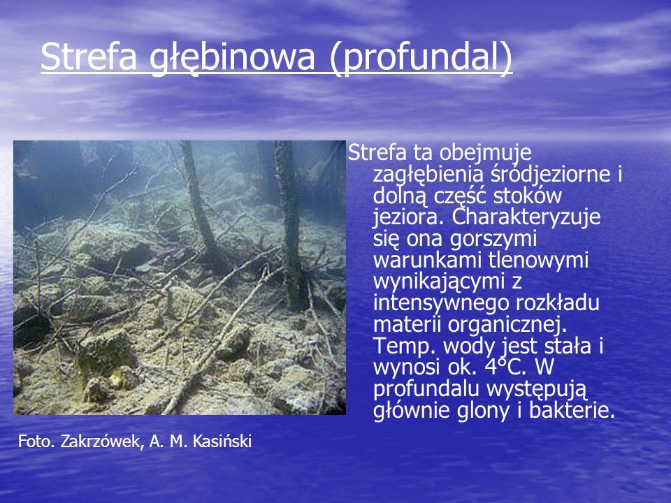 Strefa głębinowa (profundal) Strefa ta obejmuje zagłębienia śródjeziorne i dolną część stoków jeziora. Charakteryzuje się ona gorszymi warunkami tleno