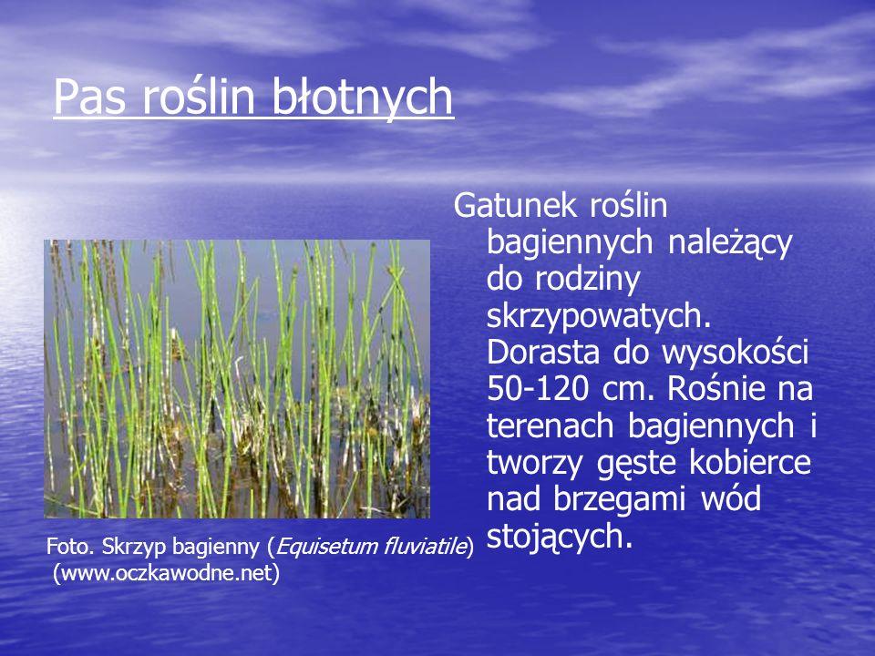 Pas roślin błotnych Gatunek roślin bagiennych należący do rodziny skrzypowatych. Dorasta do wysokości 50-120 cm. Rośnie na terenach bagiennych i tworz