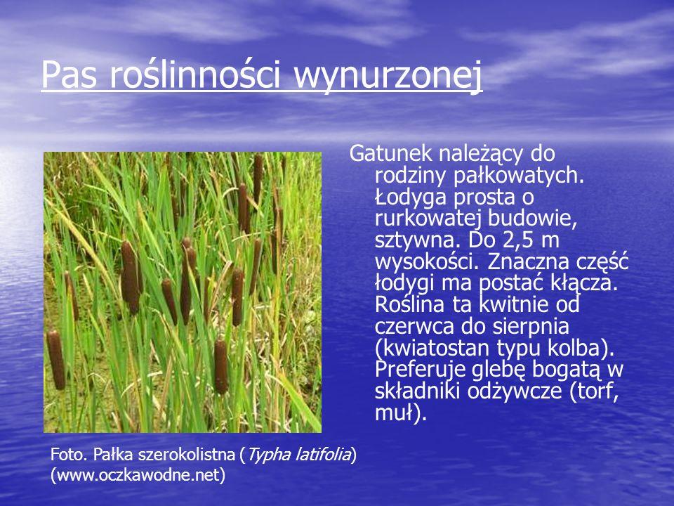 Pas roślinności wynurzonej Gatunek należący do rodziny pałkowatych. Łodyga prosta o rurkowatej budowie, sztywna. Do 2,5 m wysokości. Znaczna część łod