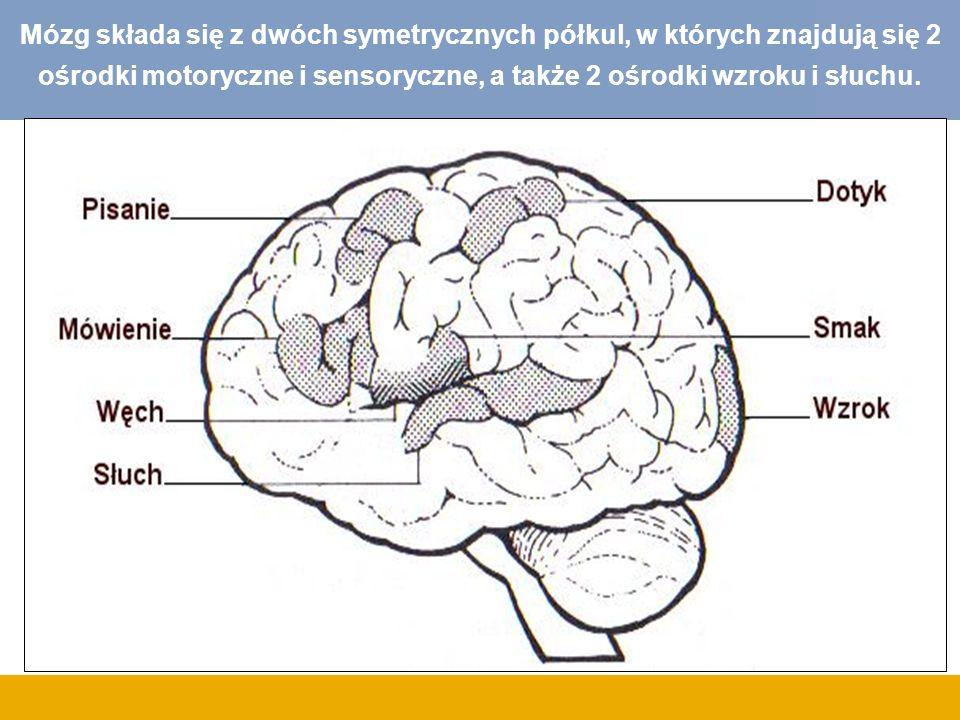 Mózg składa się z dwóch symetrycznych półkul, w których znajdują się 2 ośrodki motoryczne i sensoryczne, a także 2 ośrodki wzroku i słuchu.