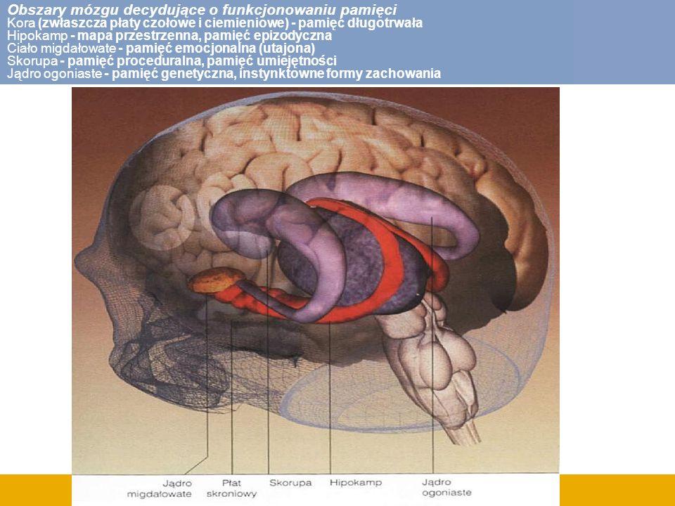 Obszary mózgu decydujące o funkcjonowaniu pamięci Kora (zwłaszcza płaty czołowe i ciemieniowe) - pamięć długotrwała Hipokamp - mapa przestrzenna, pami