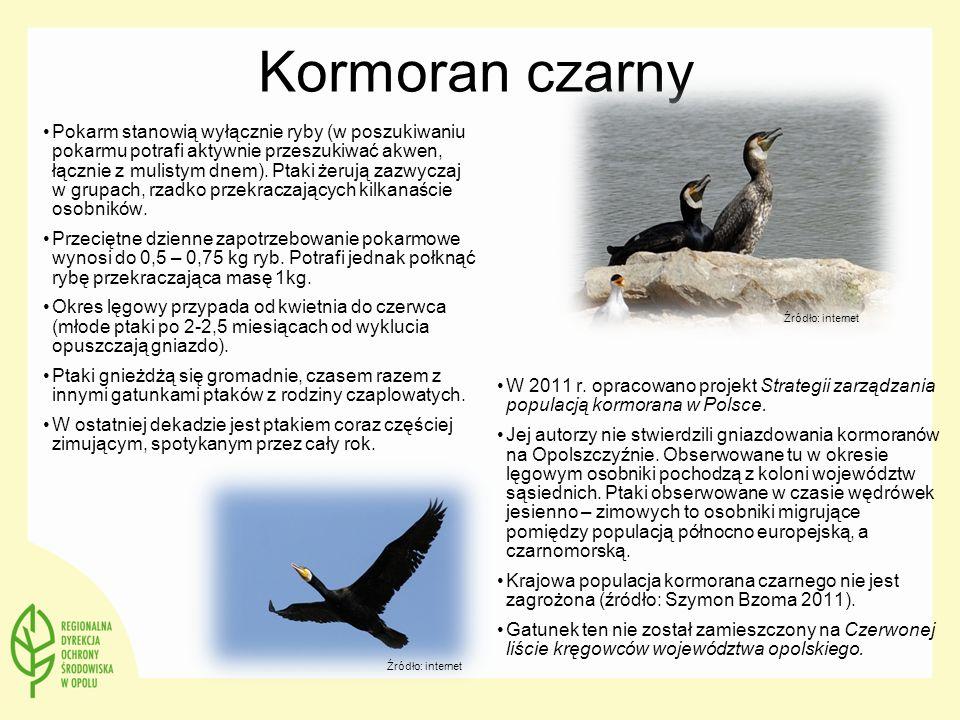 Kormoran czarny Pokarm stanowią wyłącznie ryby (w poszukiwaniu pokarmu potrafi aktywnie przeszukiwać akwen, łącznie z mulistym dnem). Ptaki żerują zaz