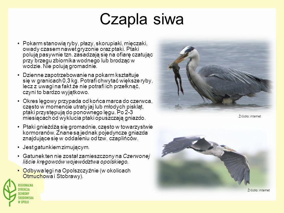 Czapla siwa Pokarm stanowią ryby, płazy, skorupiaki, mięczaki, owady czasem nawet gryzonie oraz ptaki. Ptaki polują pasywnie tzn. zasadzają się na ofi