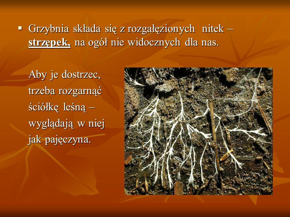 Grzybnia składa się z rozgałęzionych nitek – strzępek, na ogół nie widocznych dla nas. Grzybnia składa się z rozgałęzionych nitek – strzępek, na ogół