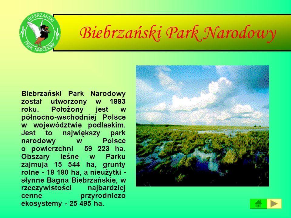 Białowieski Park Narodowy Białowieski Park Narodowy leży we wschodniej części Polski w województwie podlaskim, przy granicy z Białorusią. Park znajduj