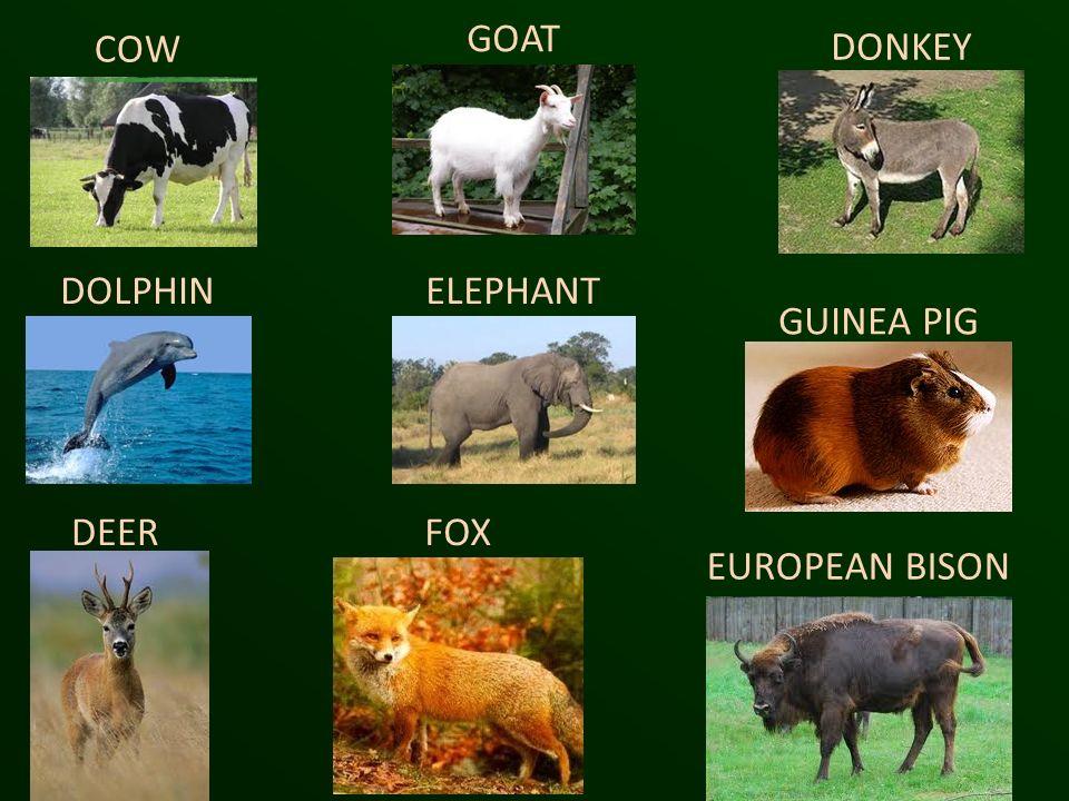 COW GOAT DONKEY DOLPHINELEPHANT GUINEA PIG DEERFOX EUROPEAN BISON