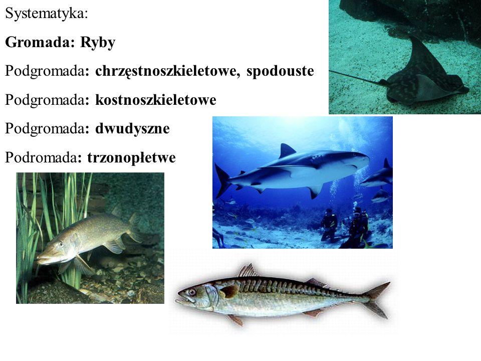 Problem osmoregulacji: Ryby morskie kostnoszkieletowe Płyny tkankowe hipotoniczne względem środowiska, woda ucieka z wnętrza ciała Piją słoną wodę Nadmiar soli wydalany przez skrzela Mała ilość mocno stężonego moczu