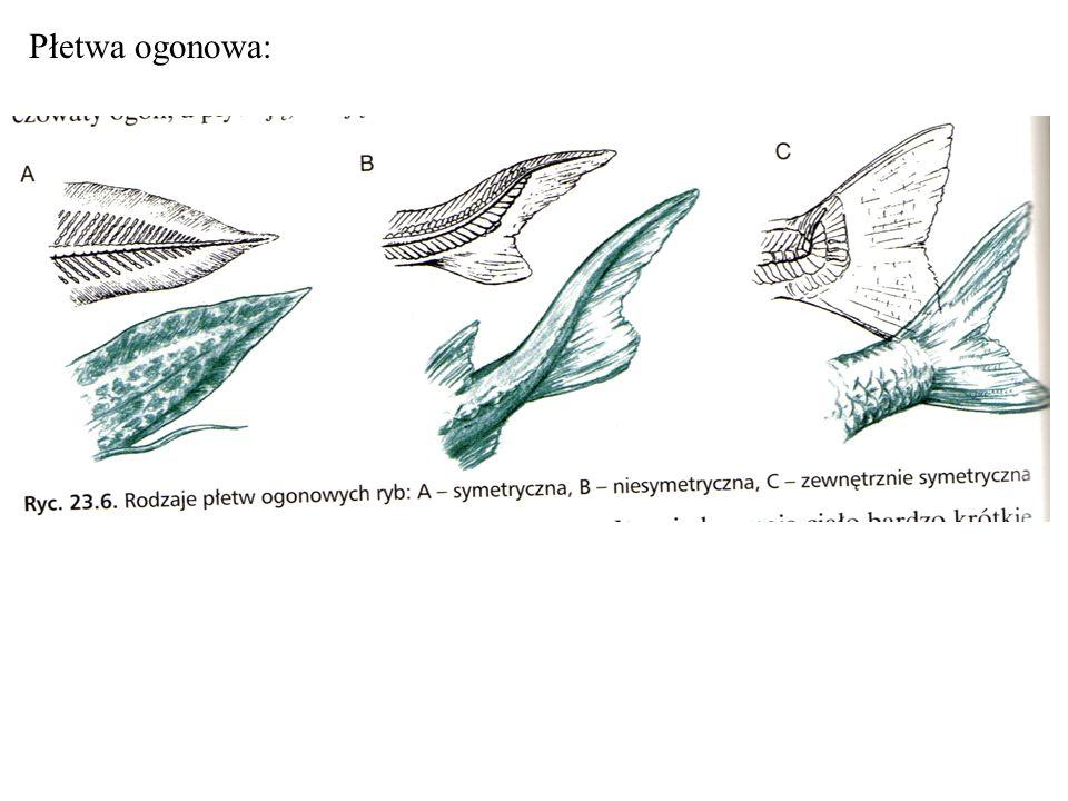 Narządy zmysłów: - oczy nieosłonięte powiekami z możliwością akomodacji, krótkowzroczne, - zmysł suchu i równowagi w błędniku błoniastym- jeśli jest połączony z pęcherzem pławnym ryba słyszy lepiej
