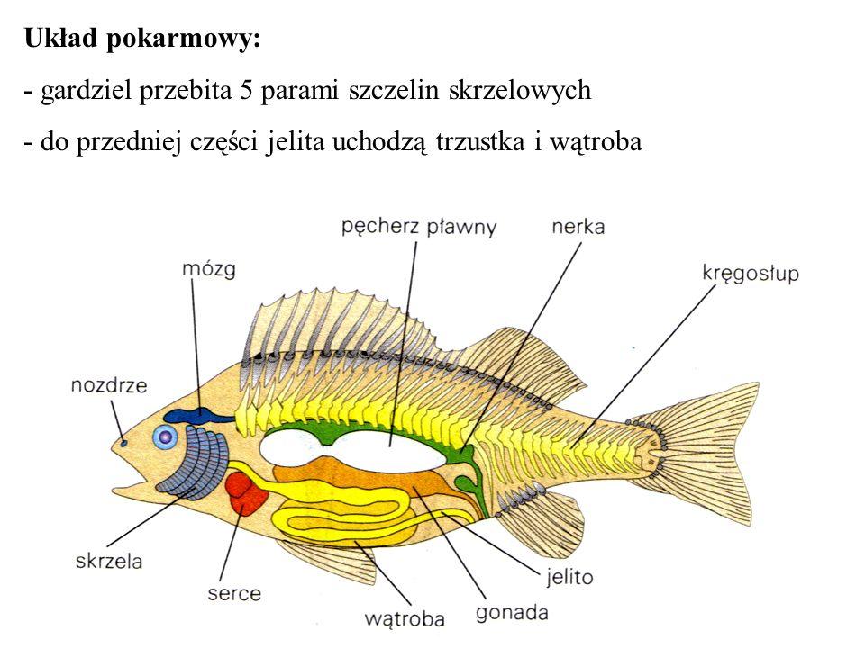 Rozmnażanie: - rozdzielnopłciowe - u wielu dymorfizm płciowy (długość płetw) - większość jajorodna (zapłodnienie zewnętrzne)-na miejscu rozrodu- (tarlisku), składana jest duża ilość jaj (ikra), polewana spermą (mleczkiem) przez samca - nieliczne jajożyworodne z zapłodnieniem wewnętrznym (mieczyki, gupiki) - samce mają narząd kopulacyjny z przekształconej płetwy odbytowej - u niektórych opieka nad potomstwem (ciernik, konik morski)
