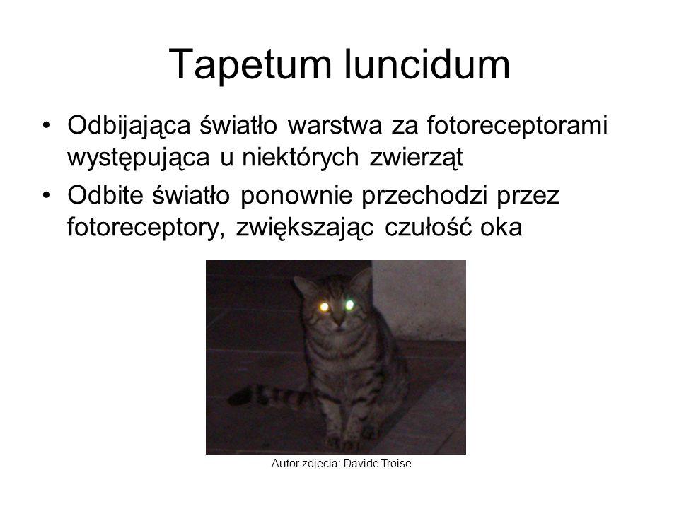 Tapetum luncidum Odbijająca światło warstwa za fotoreceptorami występująca u niektórych zwierząt Odbite światło ponownie przechodzi przez fotoreceptor