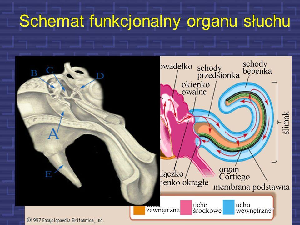 Zasadnicze elementy narządu słuchu 26