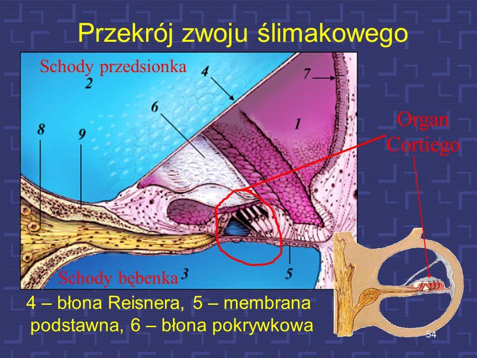 Przekrój zwoju ślimaka 53