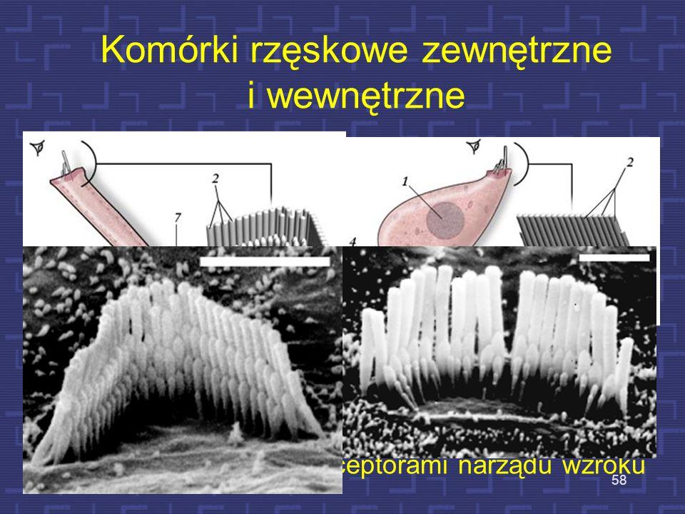 Płyny w ślimaku 3 zwoje ślimaka są wypełnione płynami – endolimfą i perylimfą. Mają one zasadnicze znaczenie dla działania komórek rzęskowych, które w