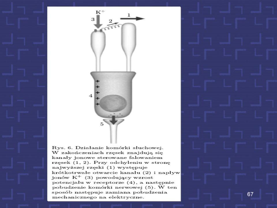 Schemat działania organu Cortiego 66 Rzęski zaczynają wychylać się w dwie strony (wychylenie czubków – 0.3 nm). W tym samym czasie dochodzi do zamykan