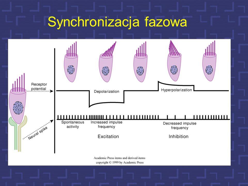 69 Synchronizacja fazowa Komórki rzęskowe rozmieszczone wzdłuż błony podstawnej są odpowiednio dostrojone częstotliwościowo elektrycznie, jak i mechan