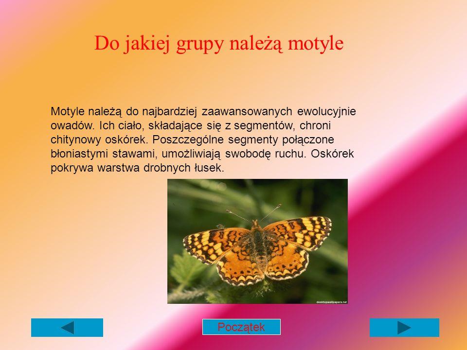 Do jakiej grupy należą motyle Motyle należą do najbardziej zaawansowanych ewolucyjnie owadów.