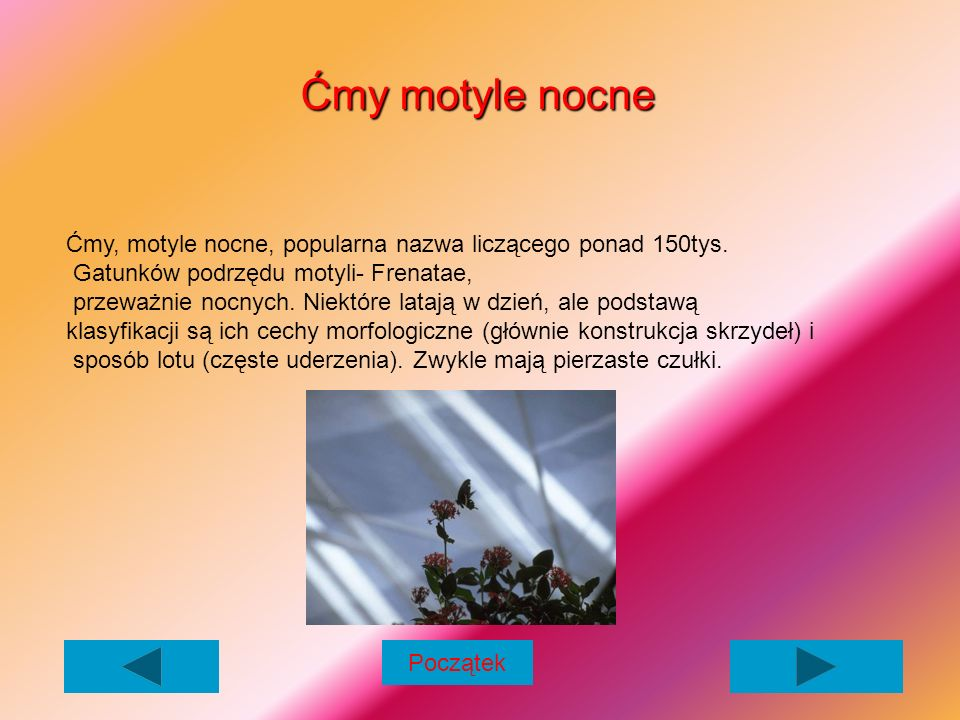Cykl rozwoju motyli Motyle są owadami, u których dokonuje się przeobrażenie zupełne.