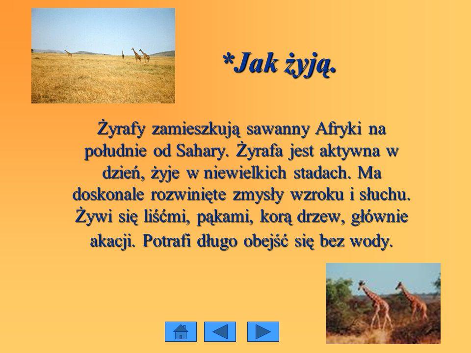 *Jak żyją. *Jak żyją. Żyrafy zamieszkują sawanny Afryki na południe od Sahary. Żyrafa jest aktywna w dzień, żyje w niewielkich stadach. Ma doskonale r
