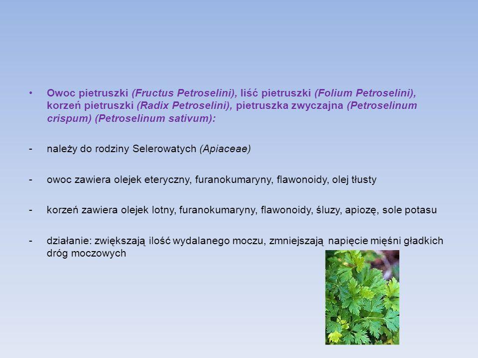 Owoc pietruszki (Fructus Petroselini), liść pietruszki (Folium Petroselini), korzeń pietruszki (Radix Petroselini), pietruszka zwyczajna (Petroselinum