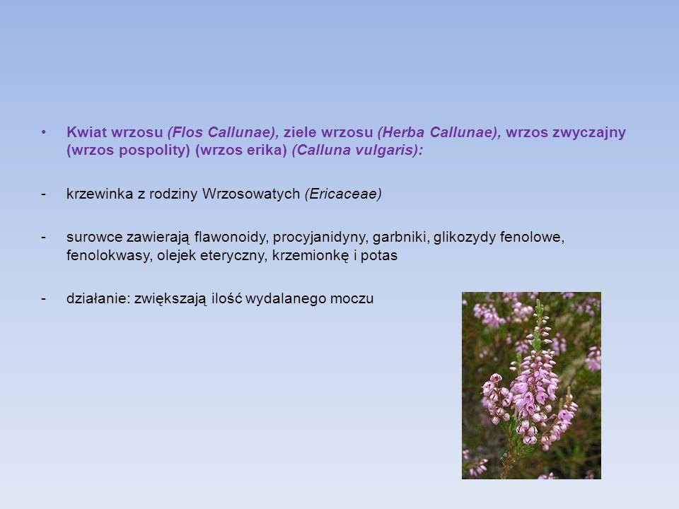 Kwiat wrzosu (Flos Callunae), ziele wrzosu (Herba Callunae), wrzos zwyczajny (wrzos pospolity) (wrzos erika) (Calluna vulgaris): -krzewinka z rodziny