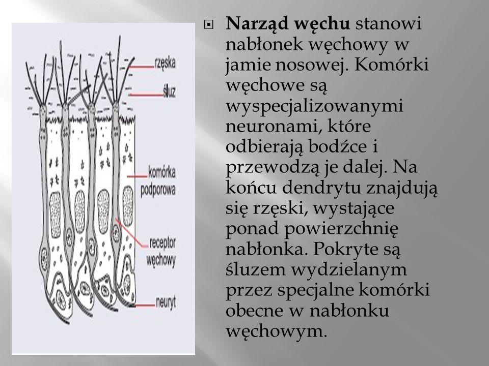 Narząd węchu stanowi nabłonek węchowy w jamie nosowej. Komórki węchowe są wyspecjalizowanymi neuronami, które odbierają bodźce i przewodzą je dalej. N